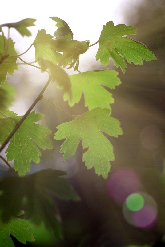 листья смородины - Дмитрий Барабанщиков