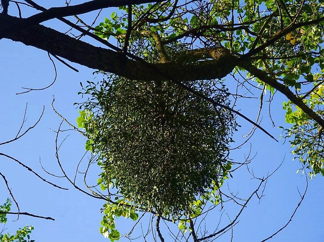 Это не рой, это омела, паразитирующее на дереве растение - Маргарита Батырева