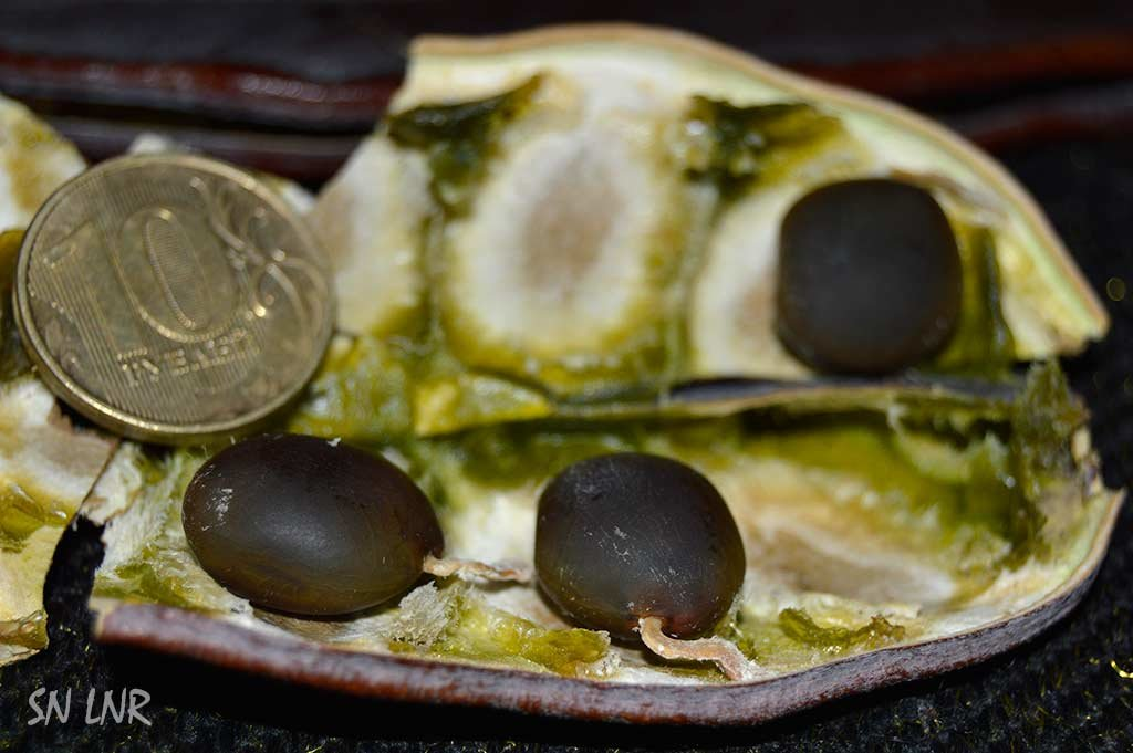 Бундук канадский - Кентуккийское кофейное дерево можно найти в Луганске - Наталья (ShadeNataly) Мельник