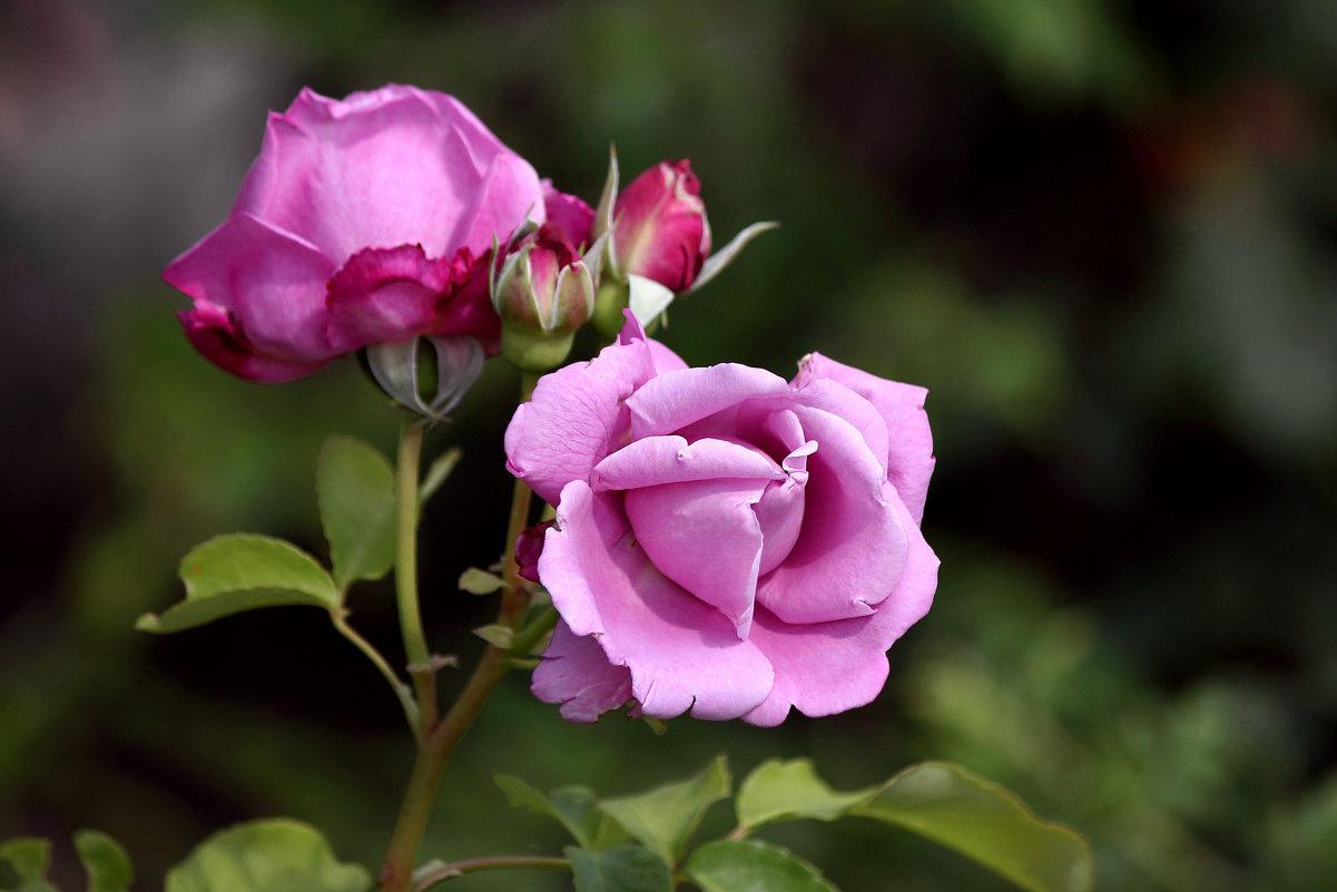 Крымские розы - Ната Волга