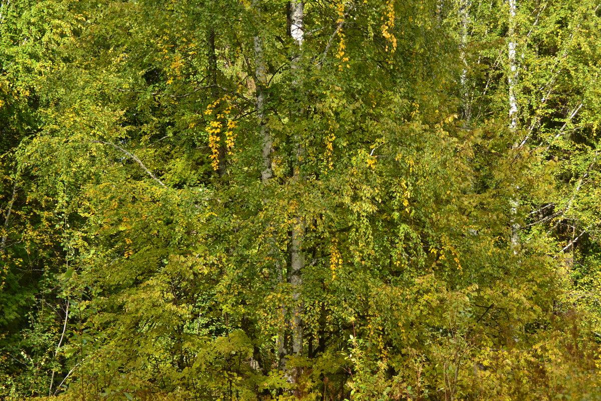 желтизна пробила - осень наступила - petyxov петухов