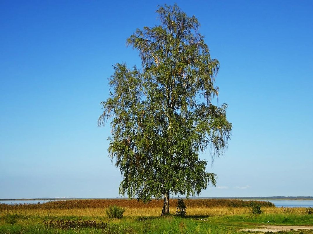 Одинокая берёзка на берегу залива - Маргарита Батырева