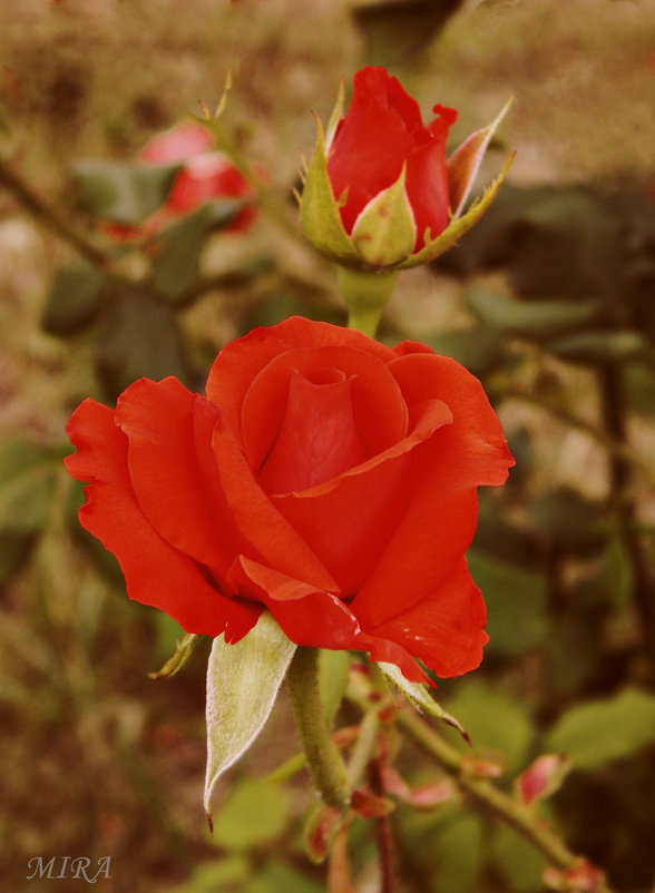 Нежность розы алой. - *MIRA* **