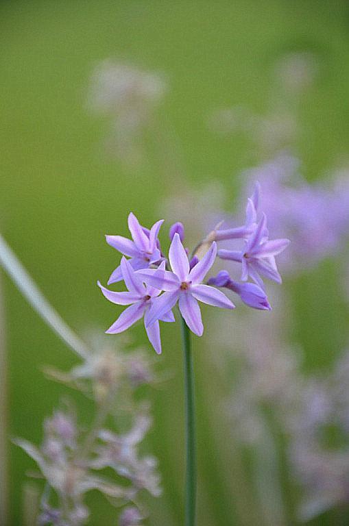 Голубые цветики. - Оля Богданович