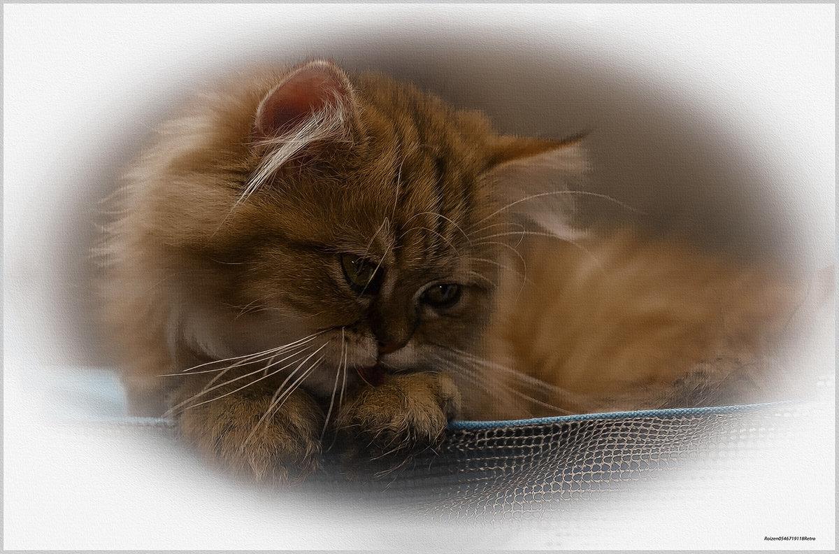 Всё та же Шиншилла-из серии Кошки очарование мое! - Shmual Hava Retro