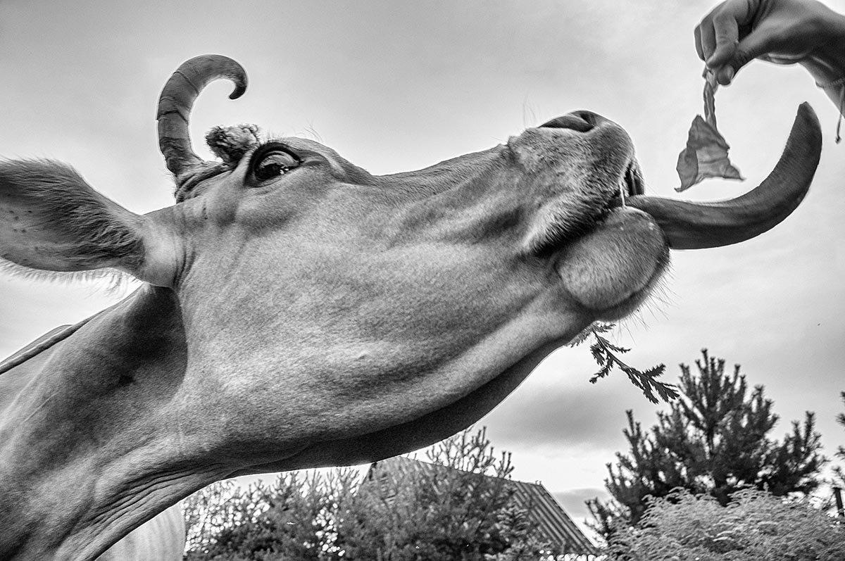 Снова слизнёт, как корова языком - Ирина Данилова