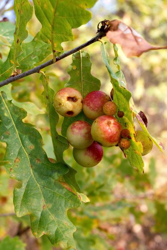 это не яблоки..это больные листья - Андрей Дружинин