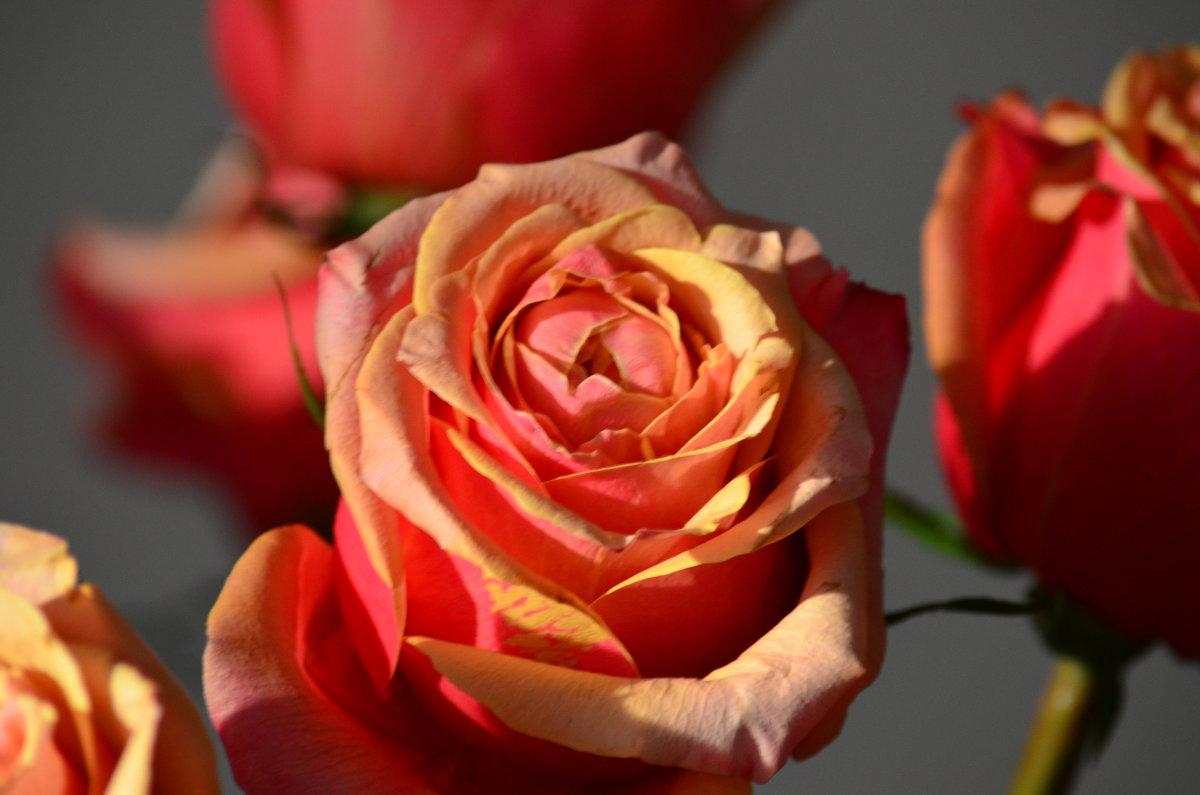 Роза осени - Таня Фиалка