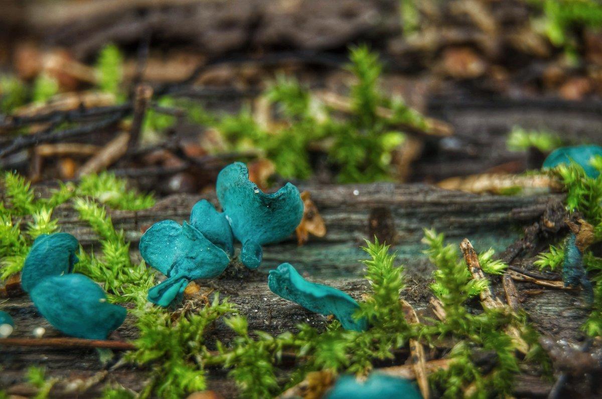 Хлороцибория сине-зеленая - Va-Dim ...