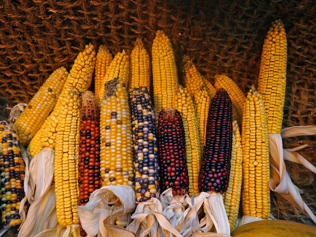 Такая разная кукуруза - татьяна петракова