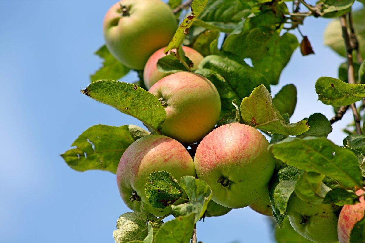 Наливное яблоко - Надежда Баликова