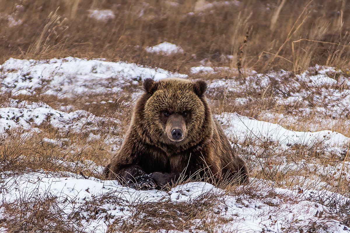 Отдыхающий медведь. - Юрий Харченко