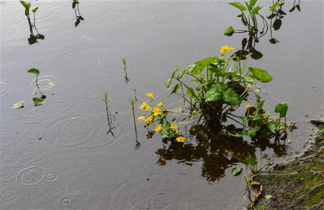 Цветы о. Валаам - Павел