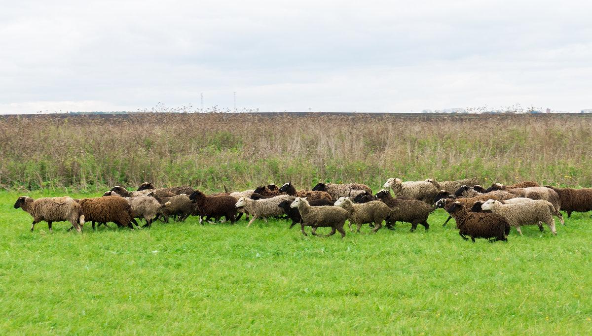 овцы - Alex Bush