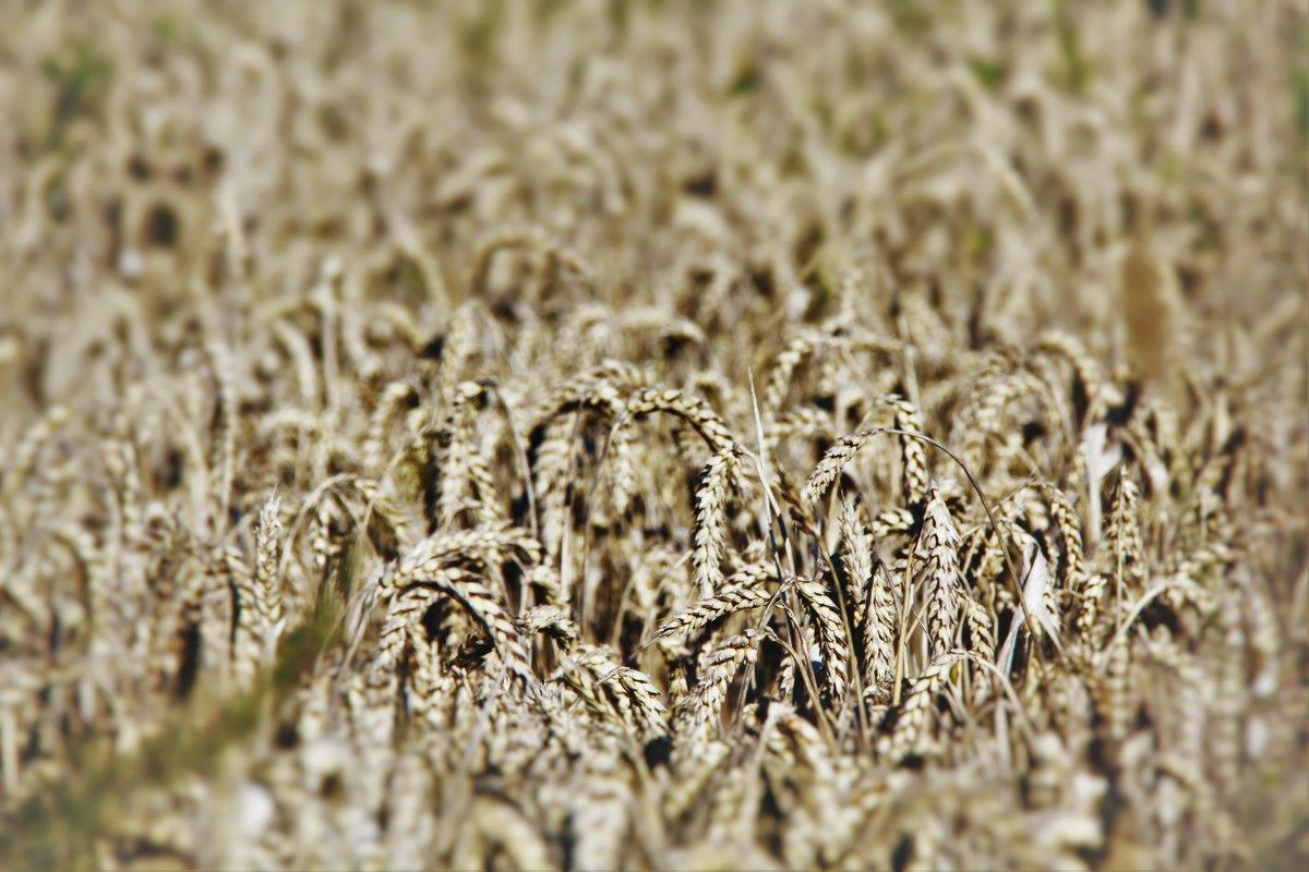 пшеница - виктор ------