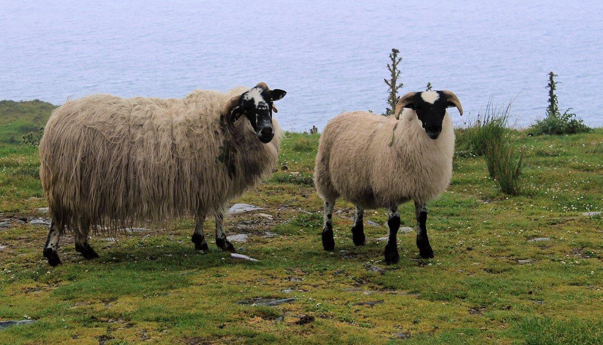 Ирландские овцы - Елена