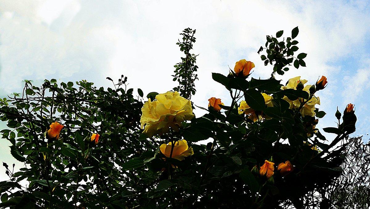 Роза-вьюшка на высоте трёх метров - Владимир Болдырев