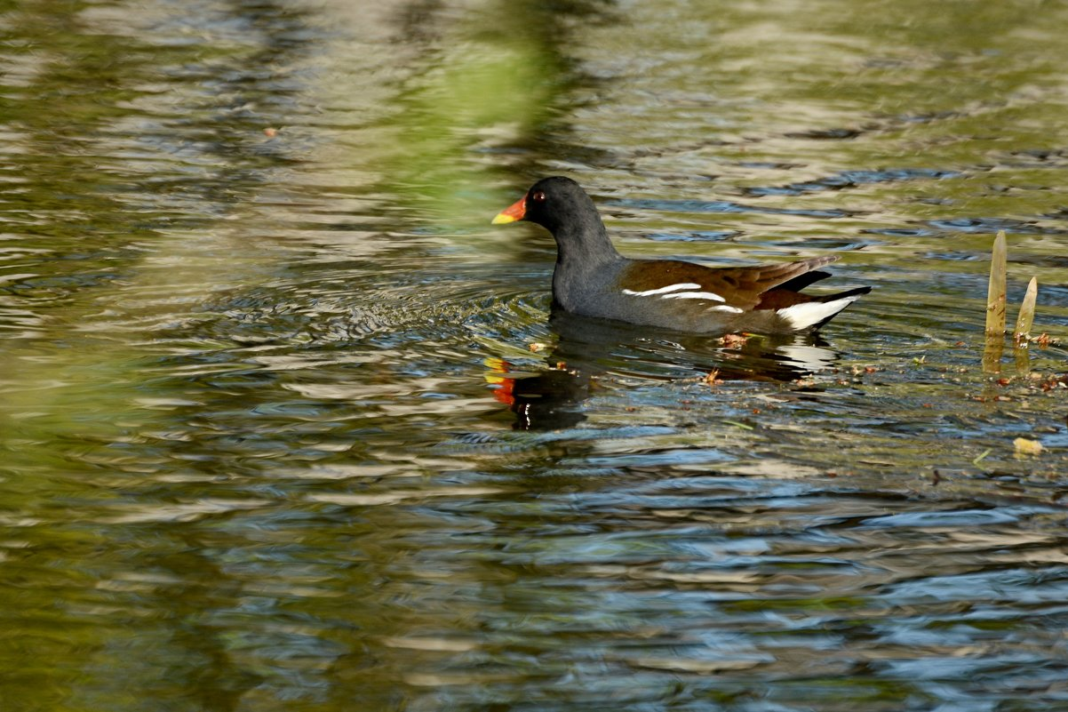 камышница - linnud