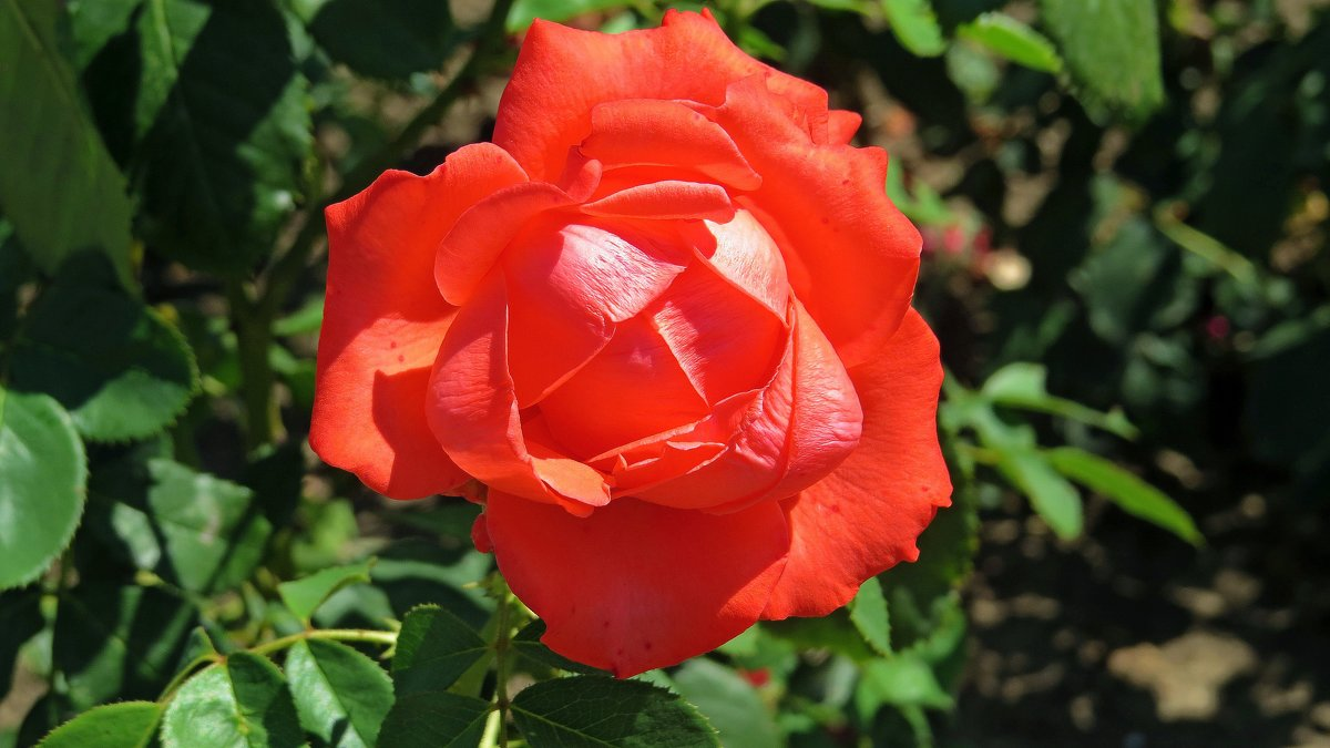 Роза - Вера Щукина