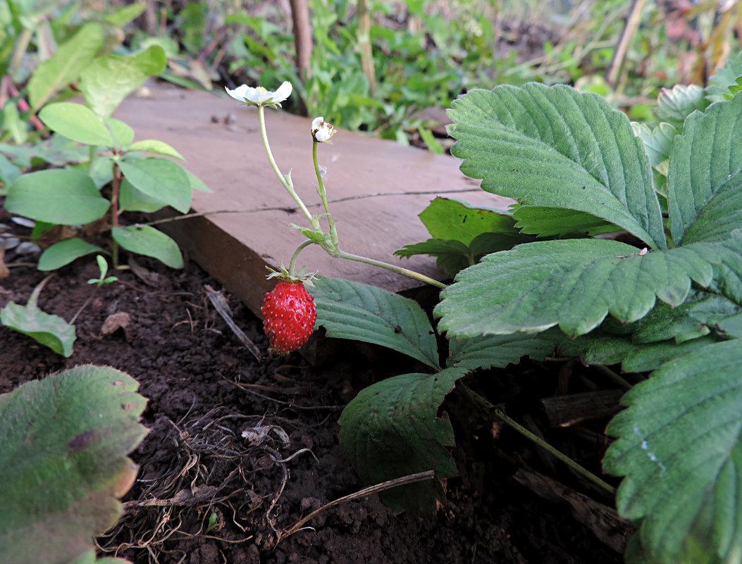 Первые ягодки в сентябре. - bemam *
