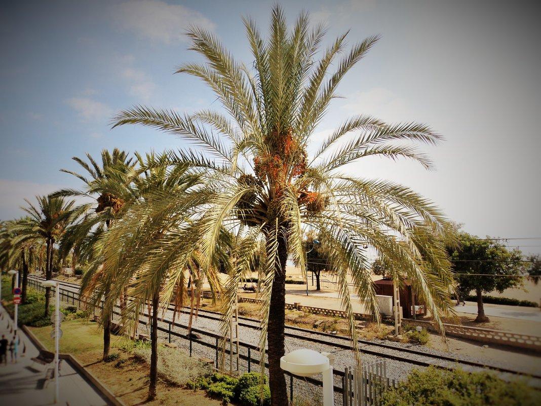 пальма - kuta75 оля оля