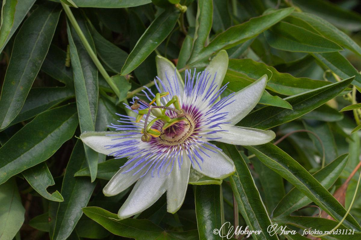 цветок - юрий мотырев