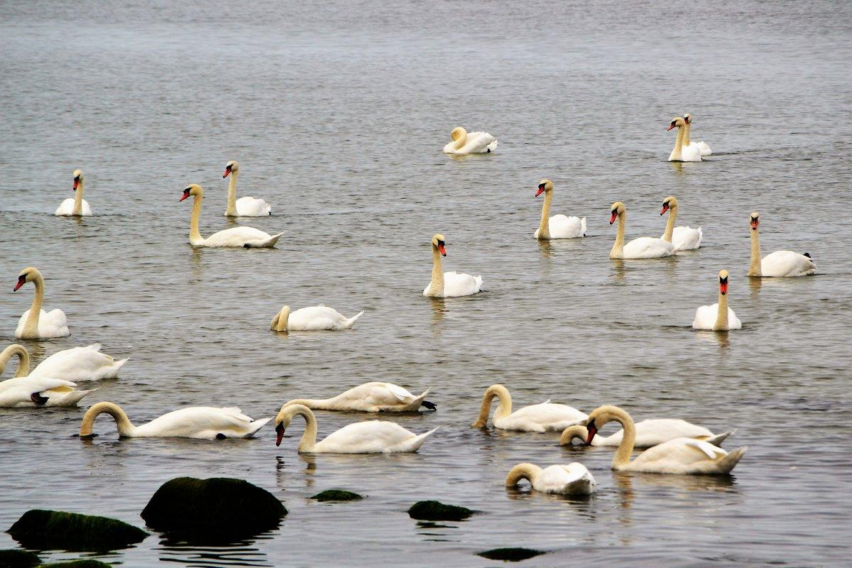 Лебеди на побережье Балтики - Сергей Крошин