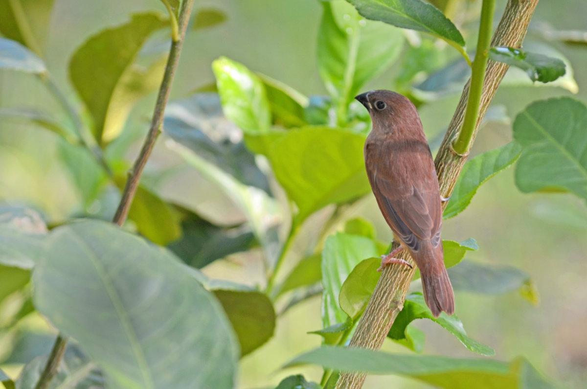 Птичка Моя - Тарун Дас