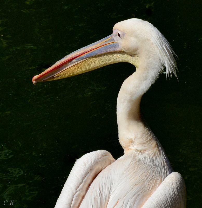 розовый пеликан - Сергей Короленко