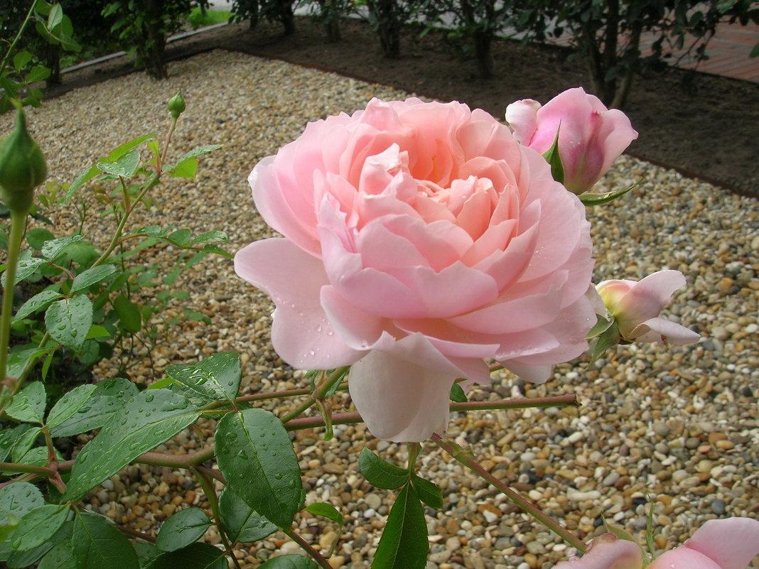 Утренняя роза - Юрий