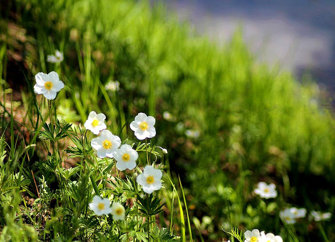 Когда ветреница в лугах цветет - Екатерина Торганская