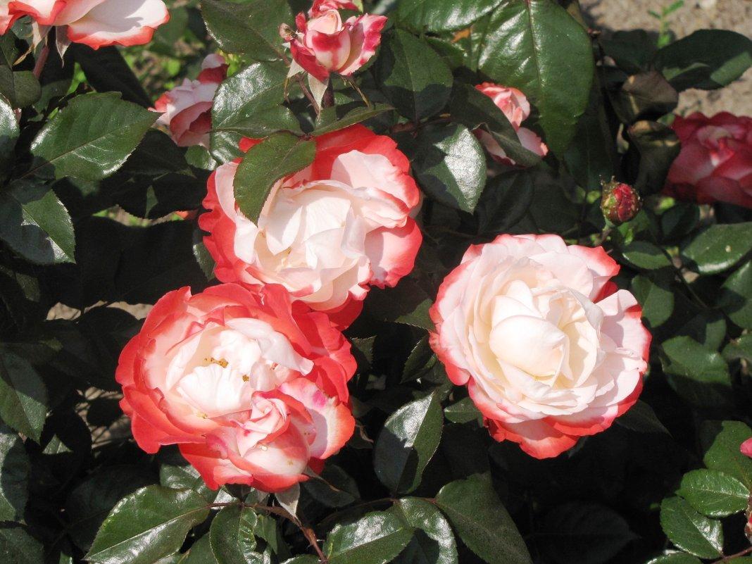 Розы - Ольга Иргит