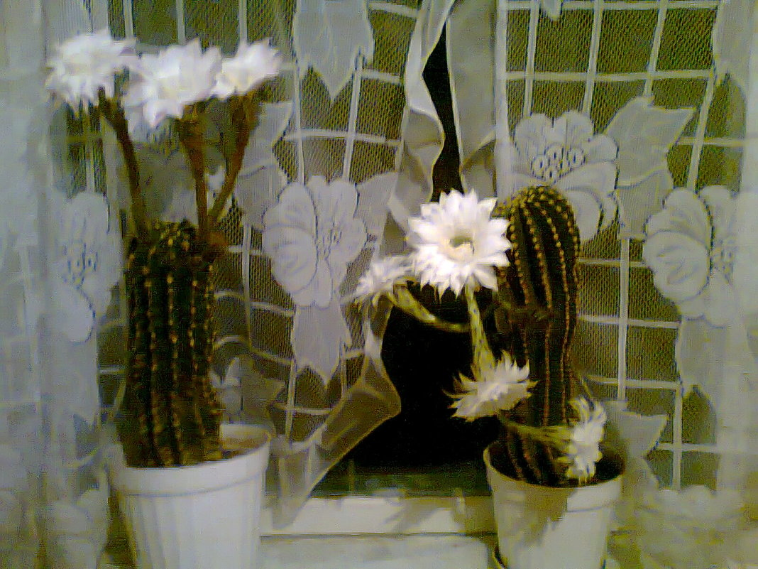 кактусы - Лара
