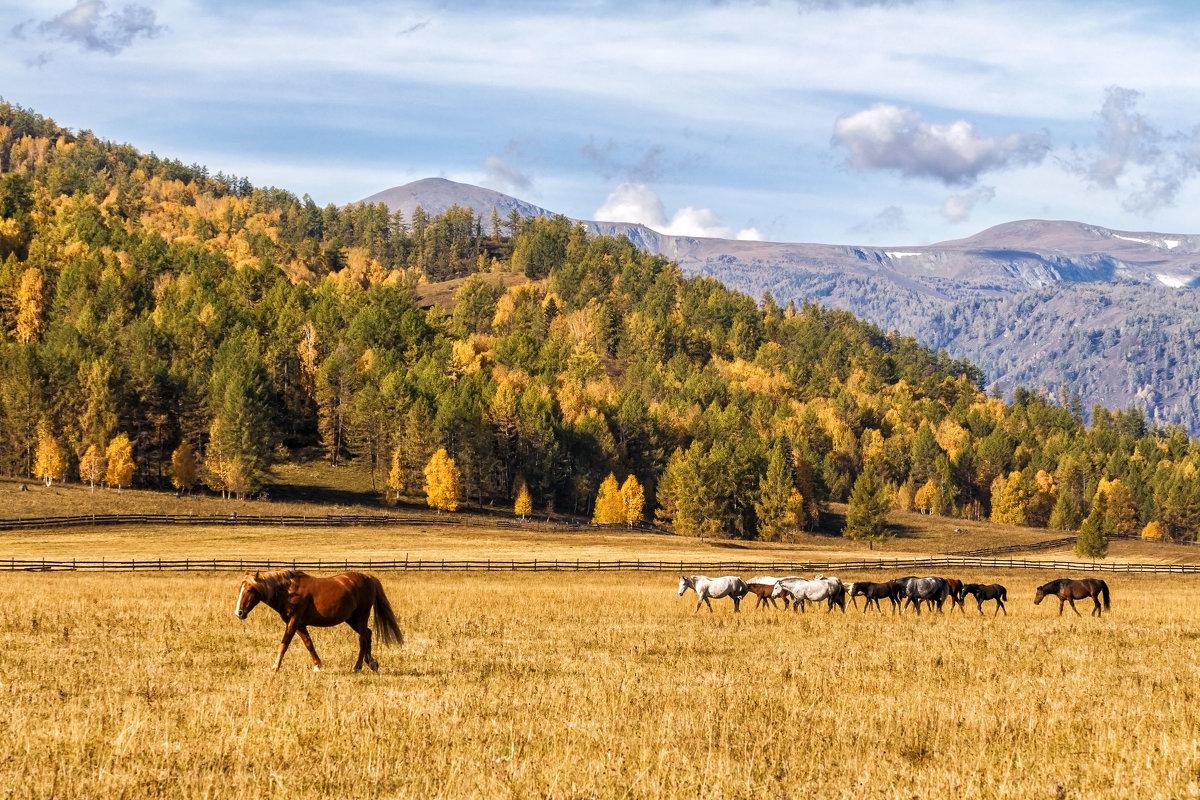 Лошади....осень....Алтай - Галина Шепелева