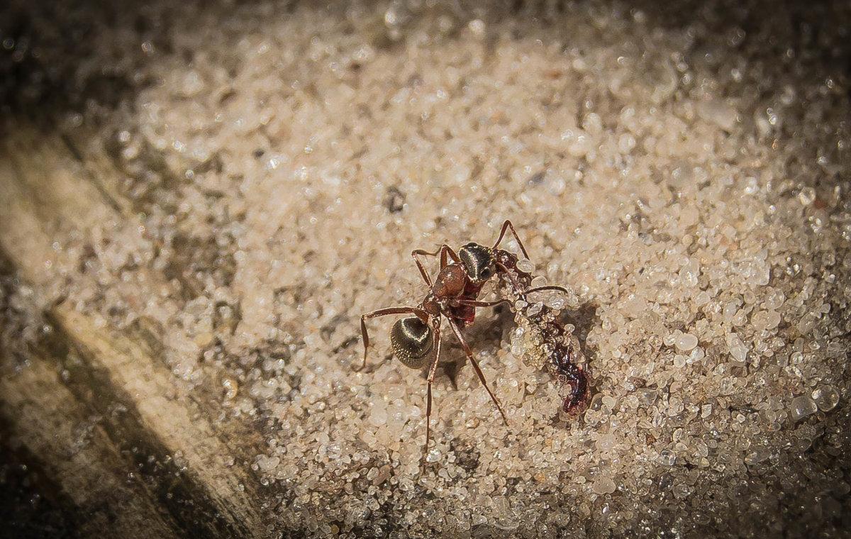 муравей - олеся тронько