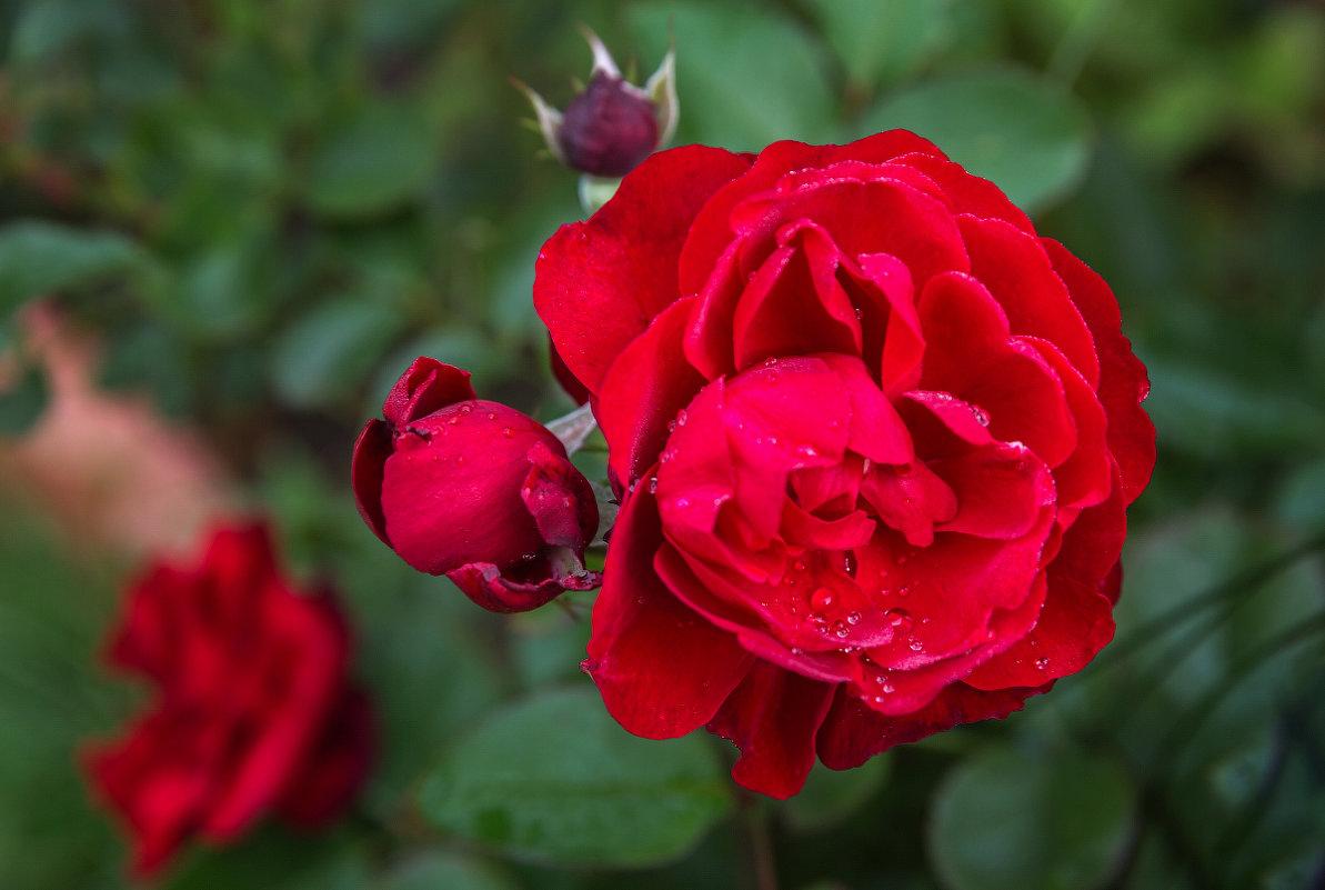 ,,Роза красная моя, сердце часто бьется, Лепестков твоих дурман надо мною вьется...,, - Татьяна Калинкина