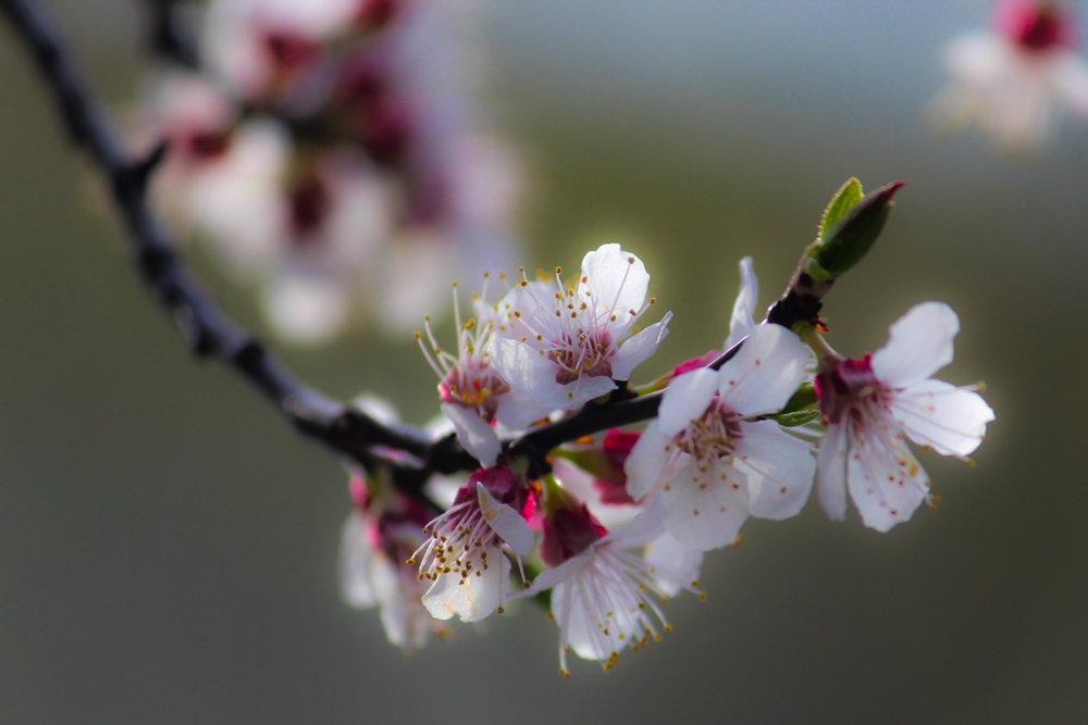 цветение абрикоса - Надежда Щупленкова