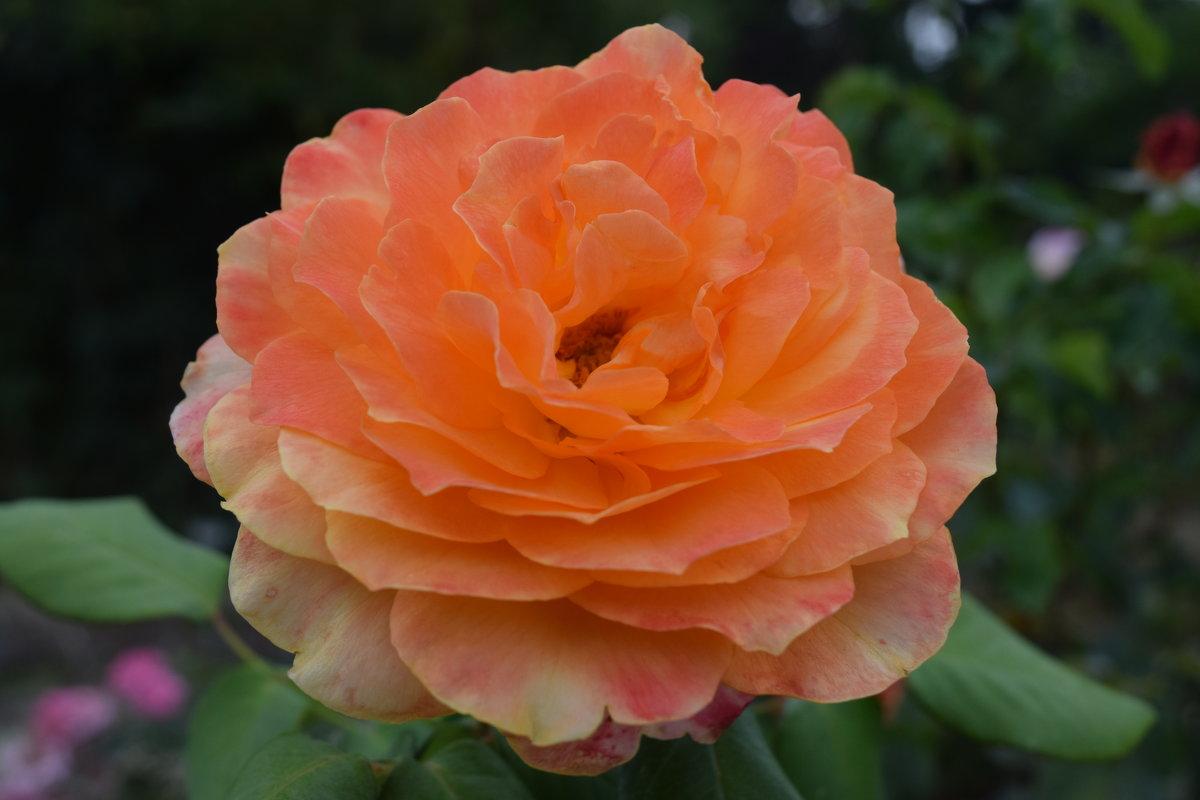Роза в сентябре. - Лилия Дмитриева