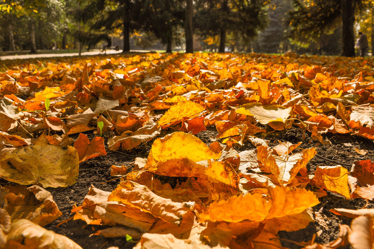 Осенние желтые листья на солнце - Сергей Тагиров