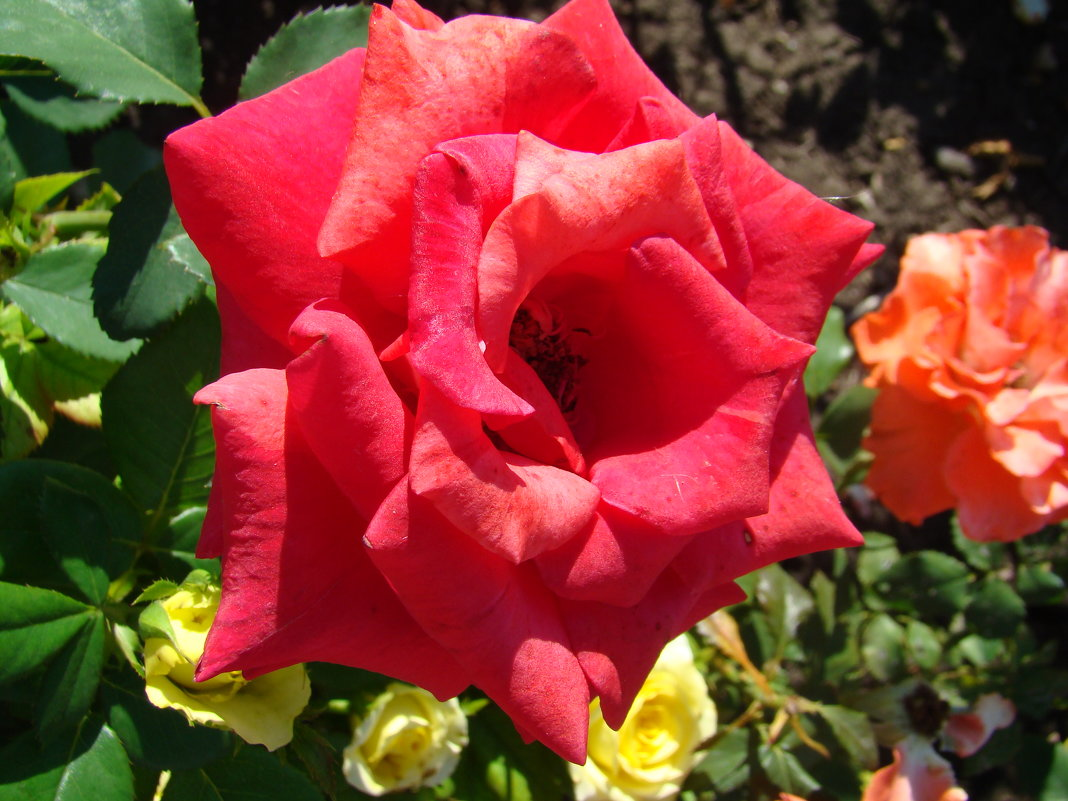 Роза на клумбе - марина ковшова