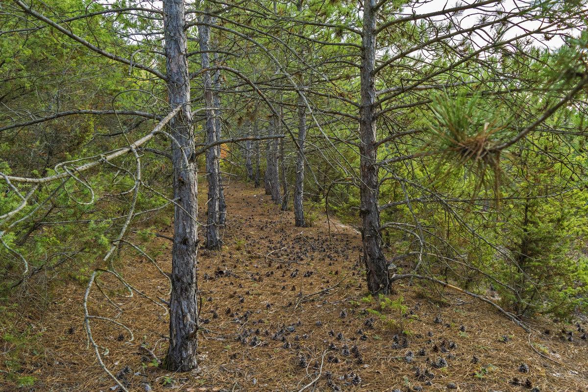 Крымский лес - Zinaida Belaniuk