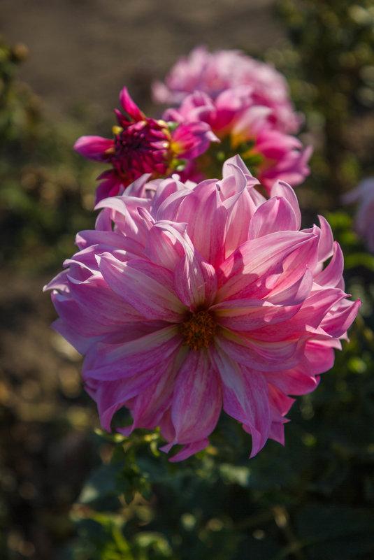 «…Шапками соцветий в утро октября Смотрят георгины, нежность нам даря.» - Андрей Нибылица