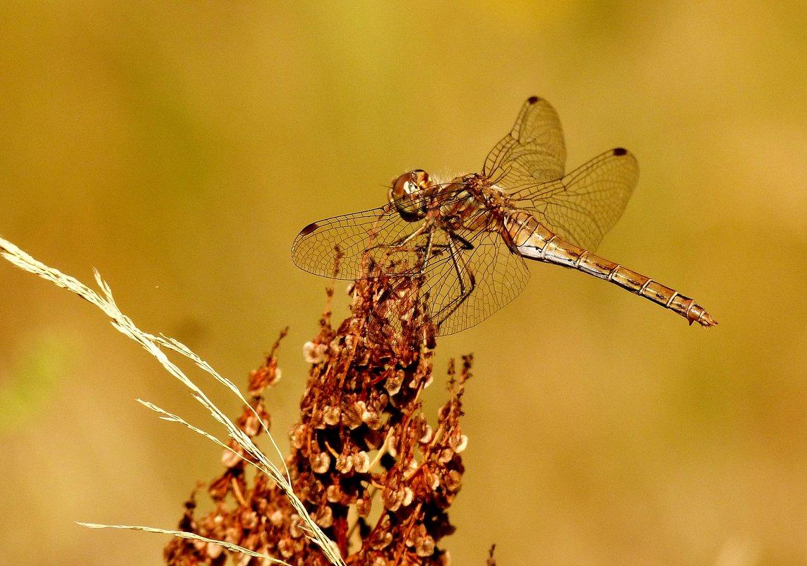 стрекозы сухой травы 4 - Александр Прокудин