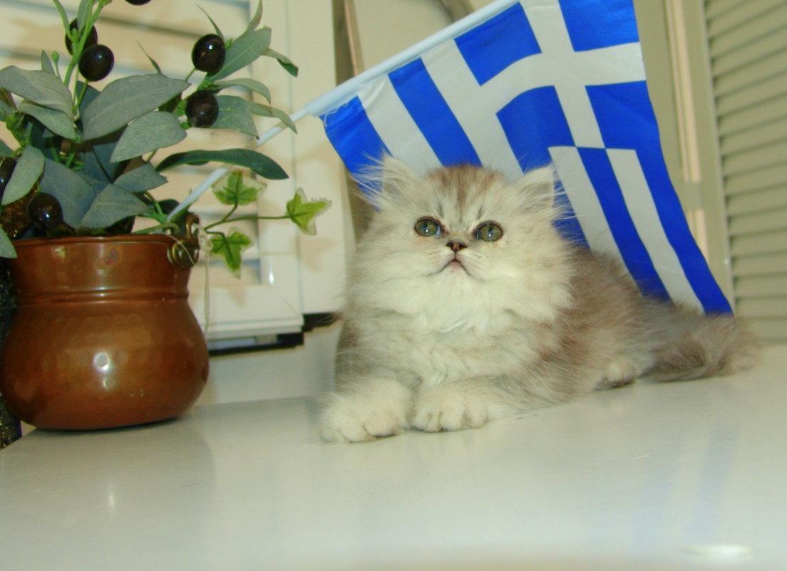 Персидская шиншилла под греческим флагом. - Оля Богданович