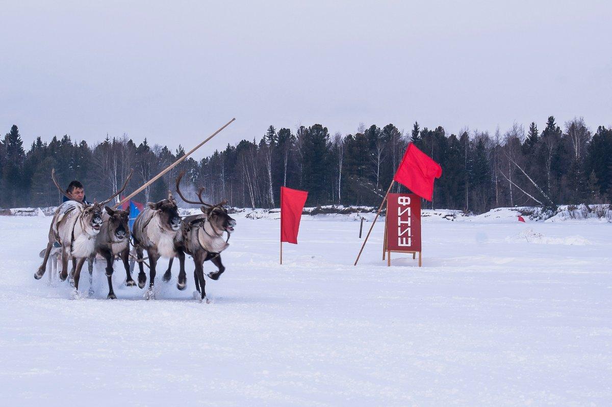 Гонки на оленьих упряжках - Дмитрий Сиялов
