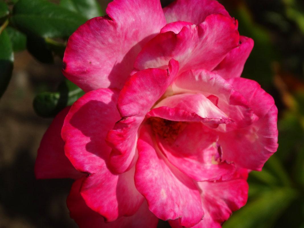 сентябрьские розы...7 - Тамара (st.tamara)