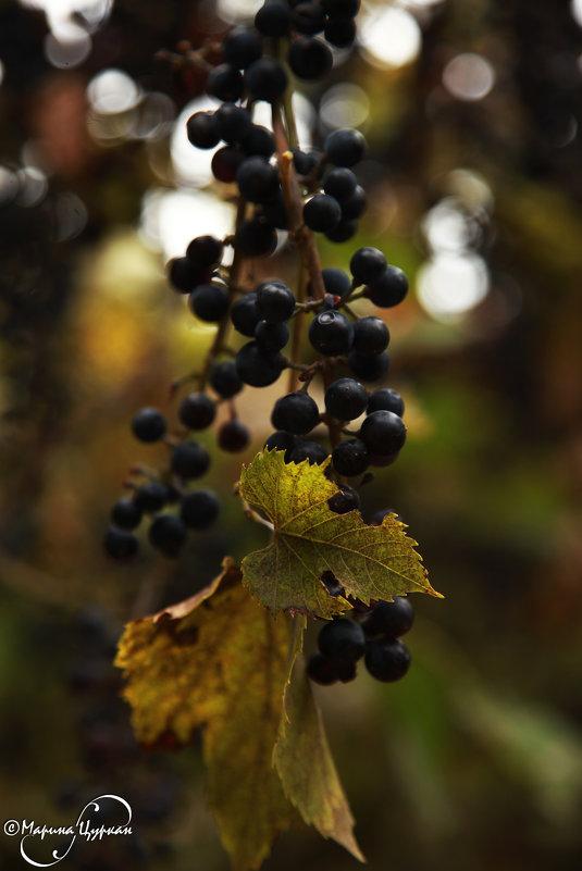 Молдавский виноград (Тараклия) - Марина Цуркан