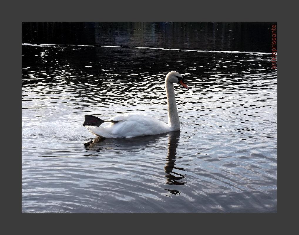 Лебедь - vadim
