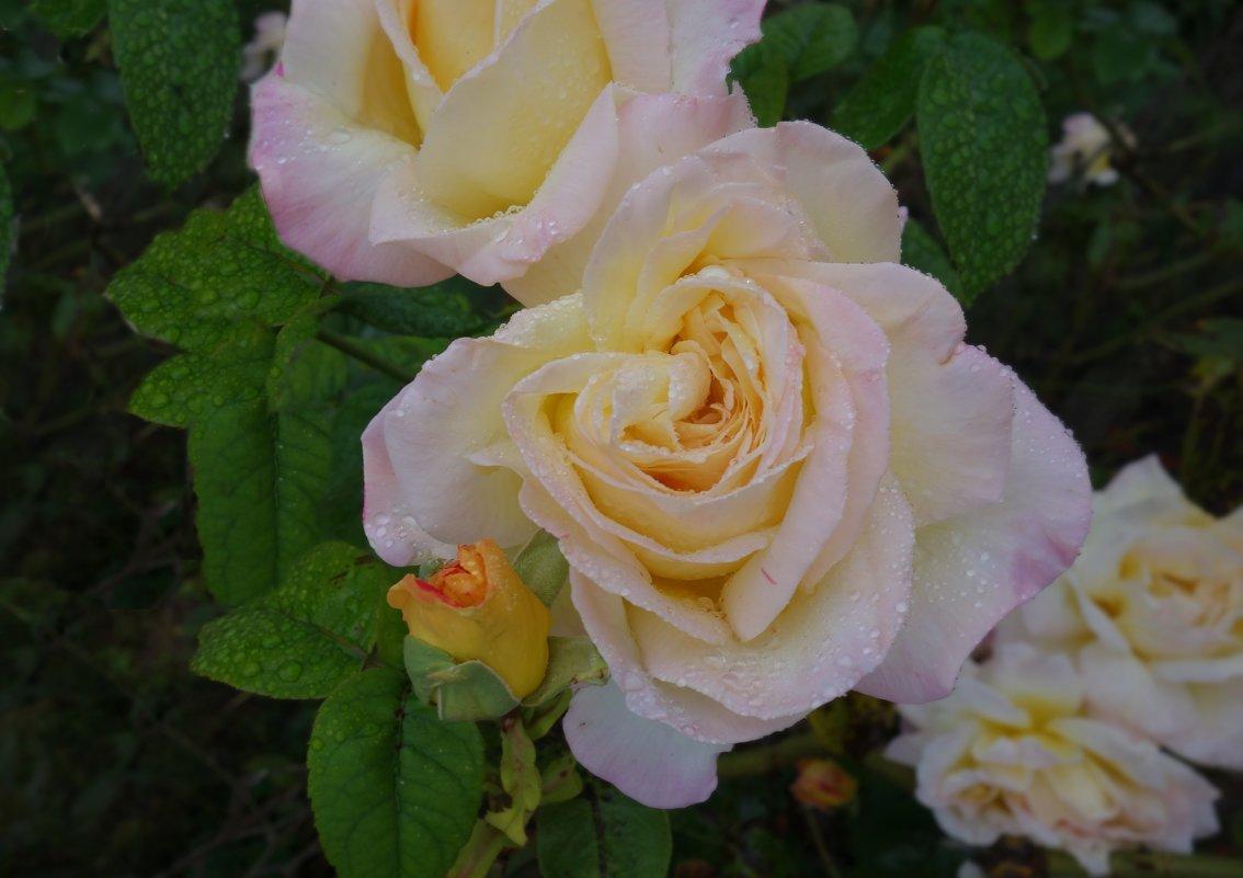 Розы октября.... - Galina Dzubina