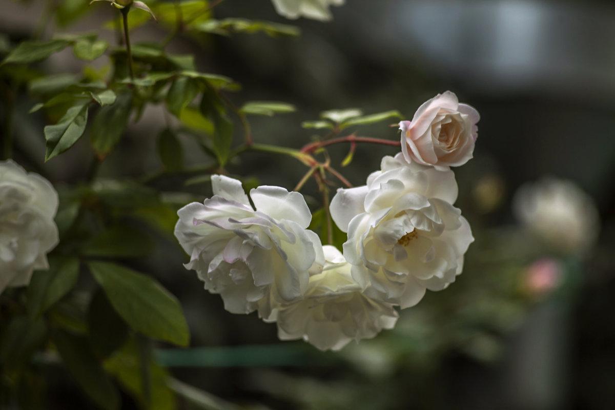 Ноябрьские розы. - Виктор Чепишко